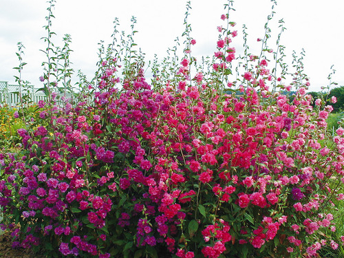 Небольшой разросшийся садик из разноцветных кларкий