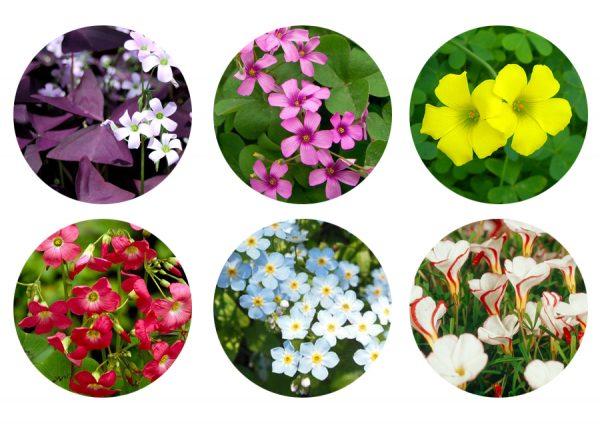 Некоторые разновидности цветков кислицы