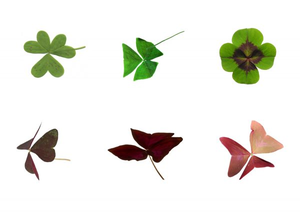 Некоторые разновидности листьев кислицы