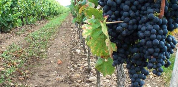 Необходимо правильно выбирать место посадки винограда