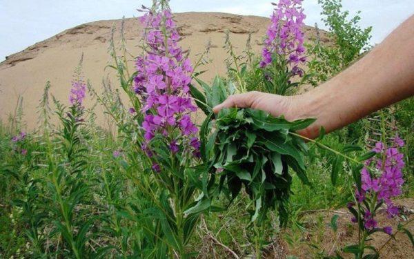 Несмотря на то, что основным компонентом отваров являются листья, при желании можно сорвать и цветки