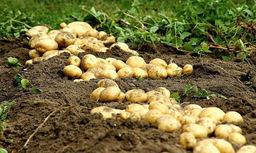 Несмотря на все ускорения, важно помнить, что картошке требуется определенное время для созревания