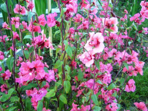 Нежно-розовые цветы кларкии изящной