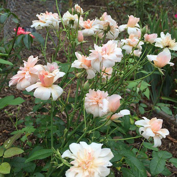 Нежно-розовые цветы на ветках кустарника