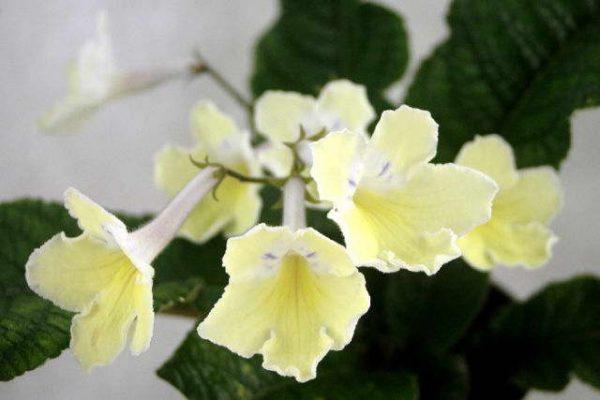 Нежно-желтые цветы стрептокарпуса