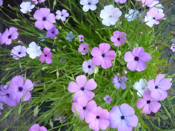 Нежные цветы вискарии