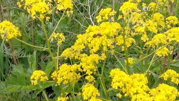 Объемные шапки из желтых цветов привлекают пчел