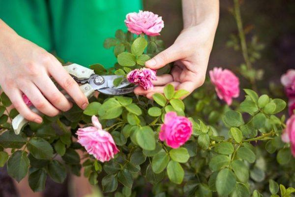 Обрезка засохшего цветка
