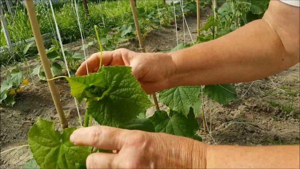 Очень важно подвязывать растения своевременно