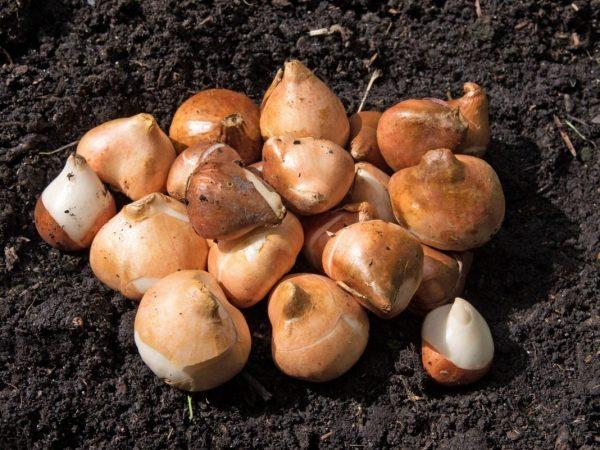 Очищенные от старой шелухи луковицы прорастут быстрее