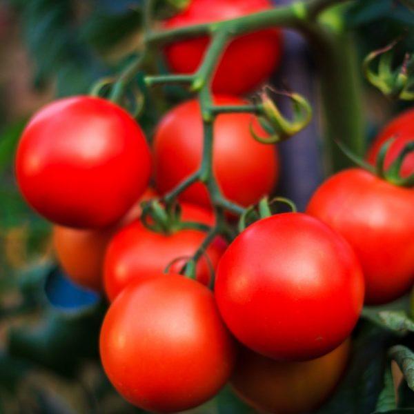Один из больших плюсов этого гибридного сорта – одинаковые одновременно созревающие плоды