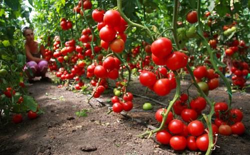 Одновременная отдача урожая - особенность детерминатов