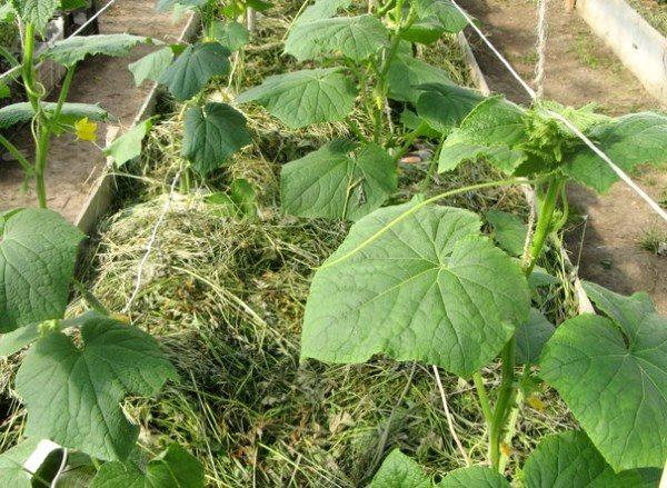 Огурцы можно замульчировать скошенной травой или сеном