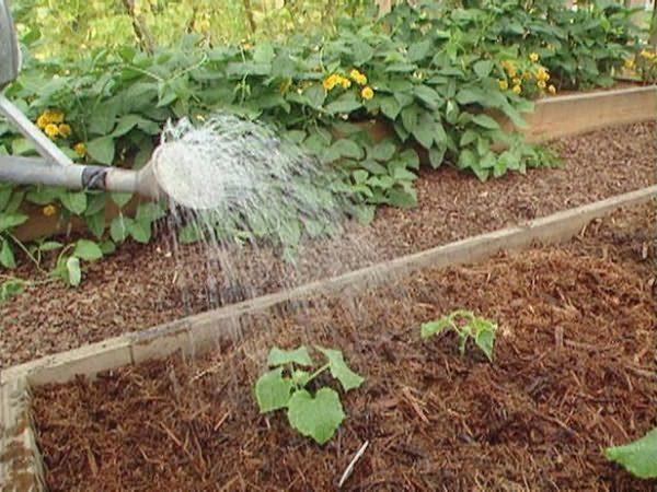 Огурцы следует поливать обильно, но не переувлажнять землю