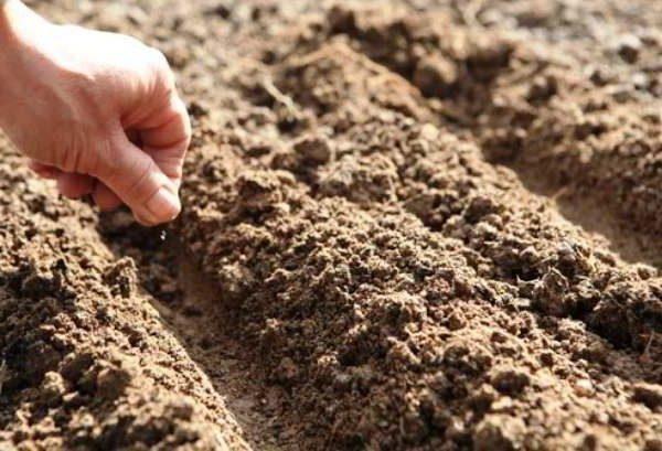 Осенью семена высеивают прямо в грунт
