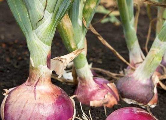Отгребание лишней земли от луковиц - повышает урожайность