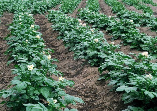 Перед посадкой любого растения следует заранее учитывать особенности почвы на вашем огороде