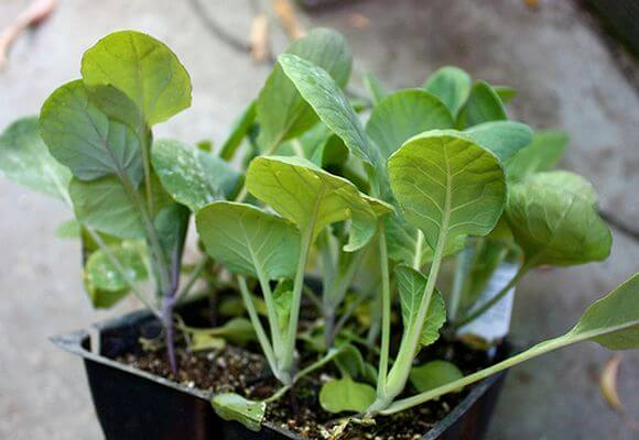 Перед тем, как сажать рассаду необходимо подготовить как семена, так и почву