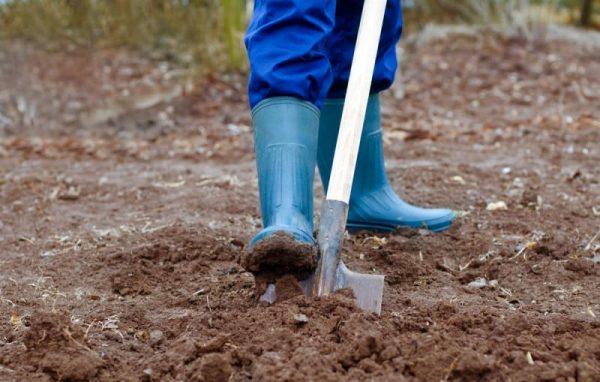Перед высадкой грядку перекапывают на глубину не меньше 35 см