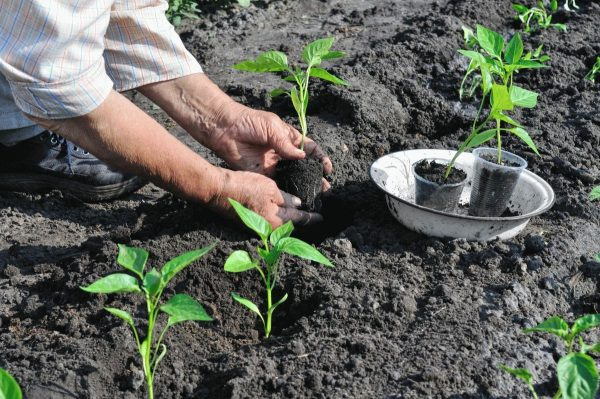 Перенос молодых растений в открытый грунт