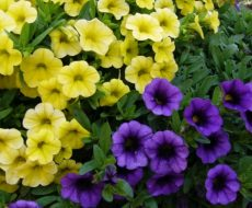 Петуния в цвету
