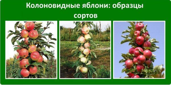 Плодоносящие деревья с яблоками разных сортов