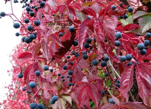 Плоды девичьего винограда декоративны