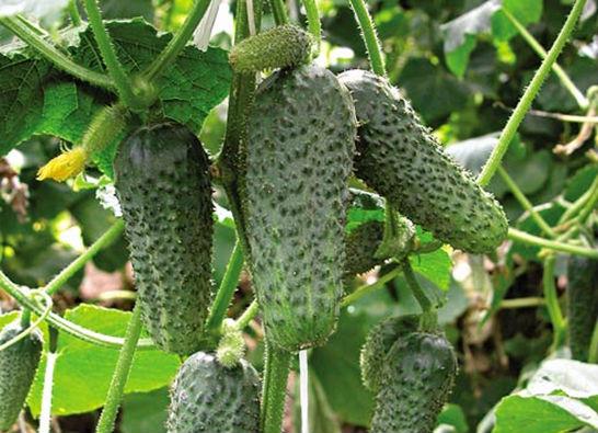 Плоды партенокарпических сортов огурцов не имеют семян