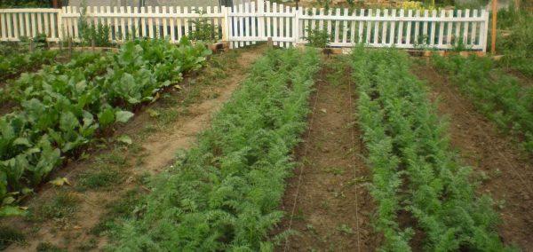 Почва с грядок не всегда такая безопасная, какой кажется садоводу