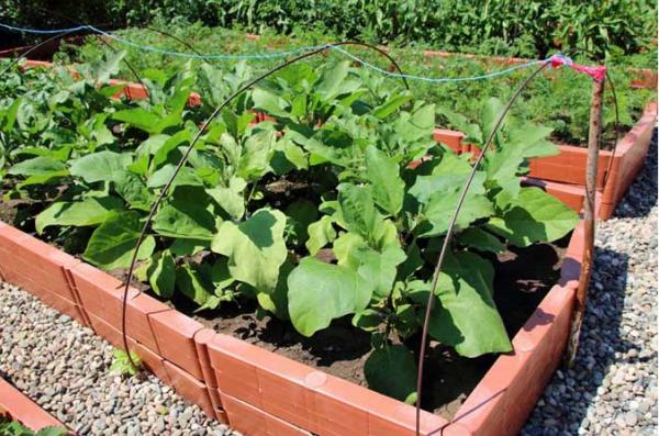 Почва в парниках должна иметь высокую влажность и не пересыхать