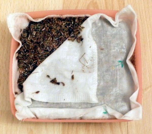 Подготовка семян корневой петрушки к проращиванию