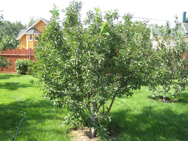 Подрастающее вишневое дерево