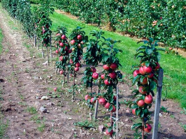 Подвязанные молодые деревца колоновидной яблони