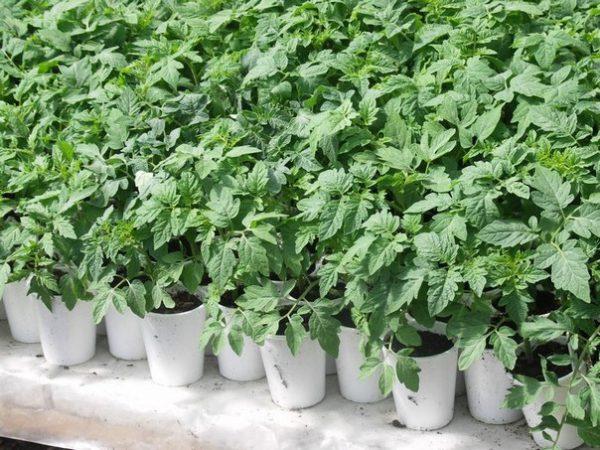 Покупка готовой рассады - хорошая альтернатива выращиванию овощей из семян