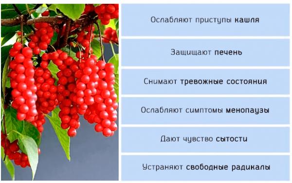 Полезные свойства лимонника китайского