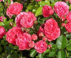 Полиантовая роза сорта Оранжевый Триумф