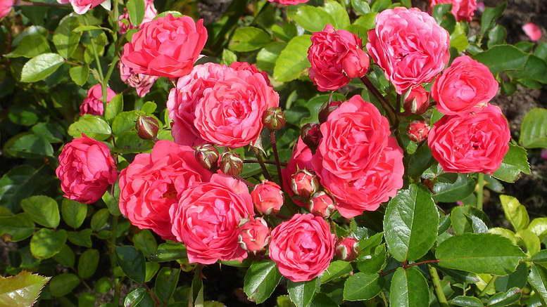 Полиантовые розы описание выращивание и уход