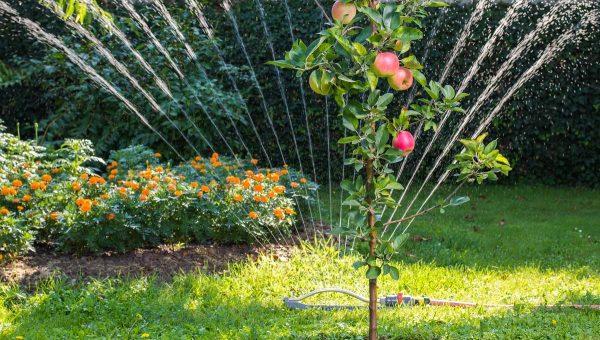Полив подрастающего деревца