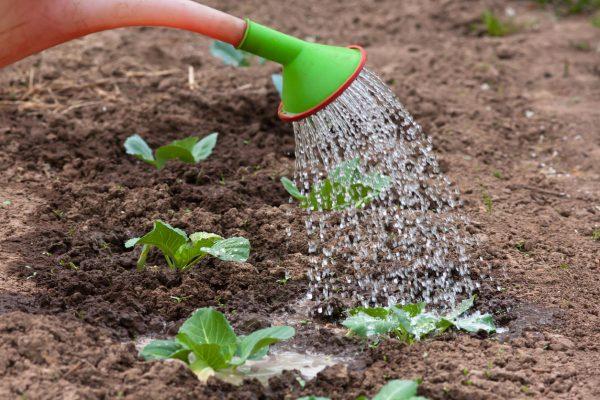 Полив рассады цветной капусты