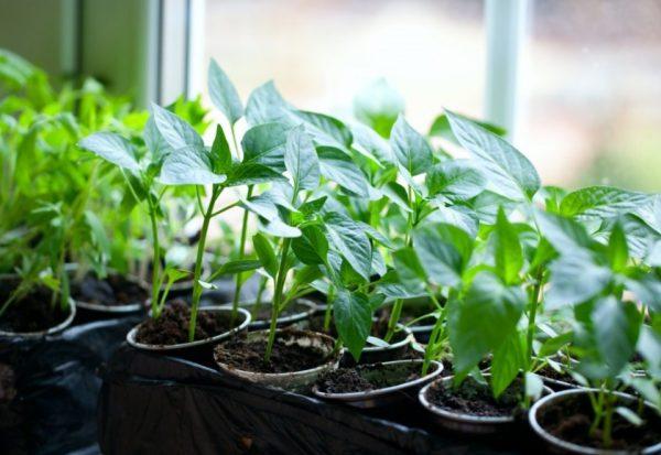 Помимо солнечного света, росткам понадобится искусственное освещение