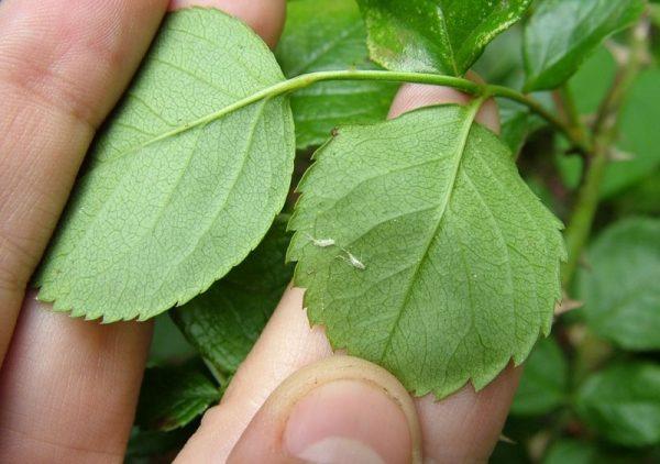 Пораженная поверхность листа