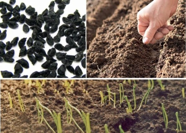 Посев и всходы семян лука