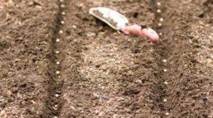 Поштучная выкладка семян сэкономит посевной материал