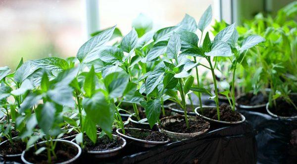 Подумайте, насколько комфортны условия в той точке квартиры, где стоят растения, а затем уже принимайтесь за эксперименты с удобрениями