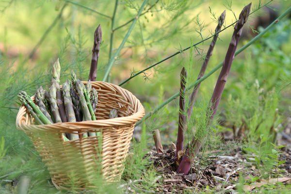 После созревания стеблей спаржи, не рекомендуется оставлять их надолго в почве