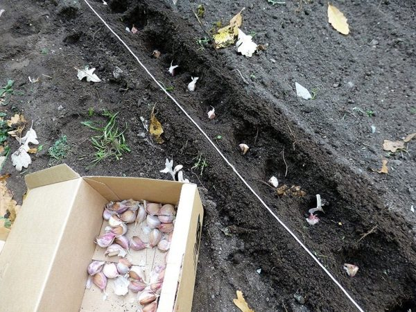 Повлиять на период созревания луковиц можно путем предварительной обработки как почвы, так и зубчиков