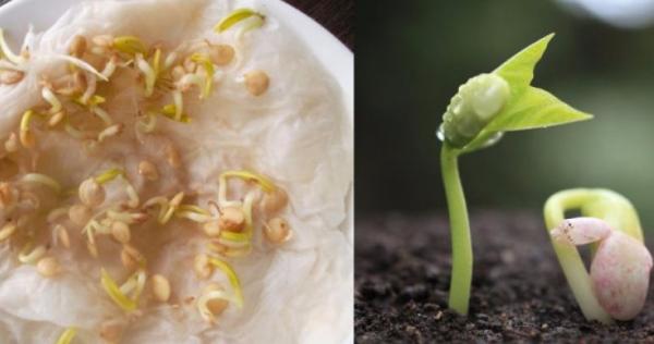 Предпосевная обработка ускоряет прорастание семян
