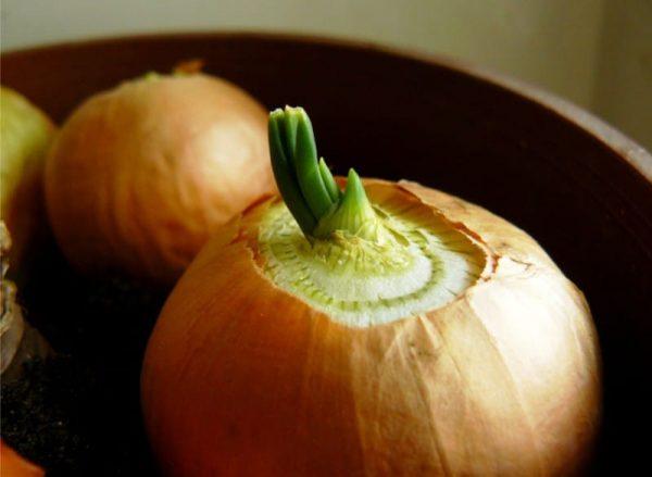 Предварительно пророщенный лук даст более богатый урожай