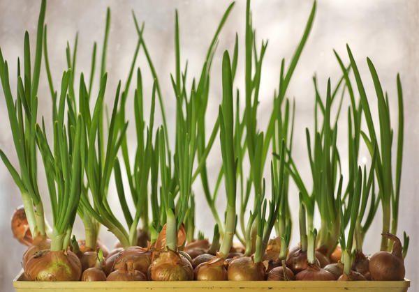 При наличии посадочного материала, лук можно выращивать на зелень круглогодично