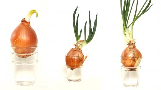 При посадке лука в емкость с водой должна контактировать только нижняя часть растения